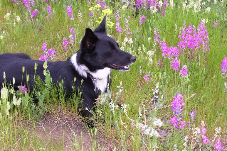 best dog blog, champion of my heart, photo of Lilly (a border collie) in flowering meadow