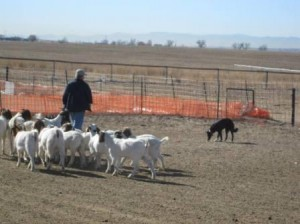Lilly's Herding Lesson #1, Part 3