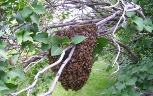 Wordless Wednesday: Clump O' Bees