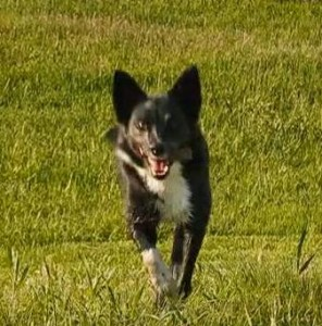 Forget Coffee: Jolt of Border Collie Enthusiasm