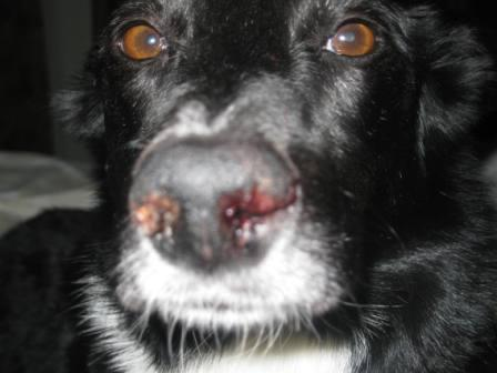 best dog blog, champion of my heart, border collie with severly bloodied nose