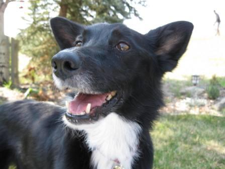 best dog blog, copyright champion of my heart, smiling border collie 