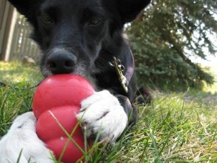 best dog blog, copyright champion of my heart, border collie playing with kong