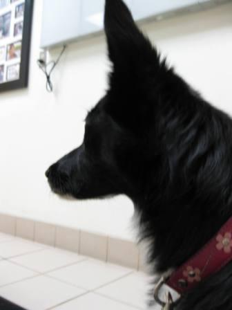 best dog blog, champion of my heart, photo of border collie at veterinary hospital