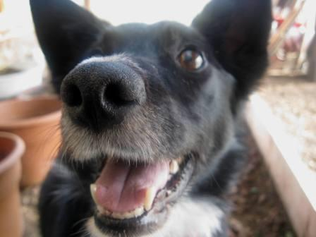 best dog blog, champion of my heart, close-up photo of border collie face