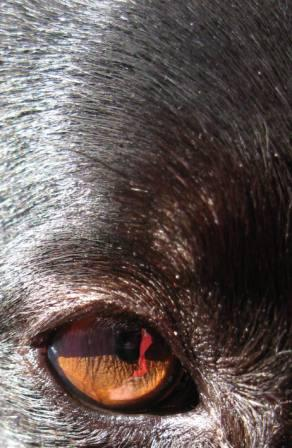 best dog blog, champion of my heart, close-up border collie eye