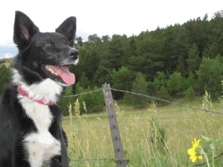 best dog blog champion of my heart border collie on hike