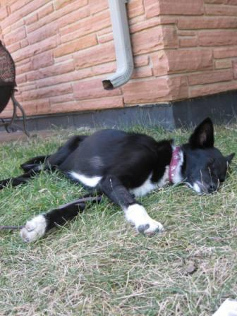 best dog blog champion of my heart border collie sleeping flat