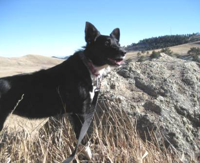 best dog blog champion of my heart border collie hiking