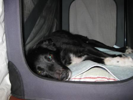 best dog blog champion of my heart border collie in crate