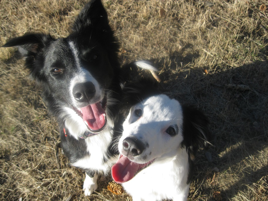 border collie puppies smiling, champion of my heart