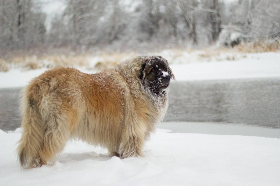 leonberger balto