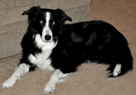 best dog blog, champion of my heart, 7 links, photo of border collie