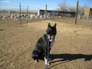 Lilly's Herding Lesson #1, Part 4