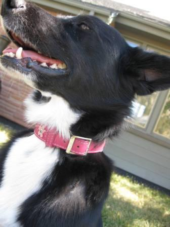 best dog blog, champion of my heart, border collie smiling one week after surgery for canine adnexal nevus