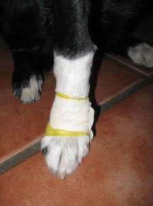 Dewclaw Mishap – Dog Grooming Gone Wrong