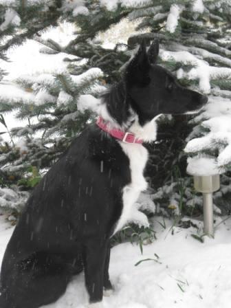 best dog blog, champion of my heart, border collie in the snow