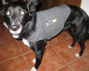 best dog blog, champion of my heart, border collie wearing thundershirt