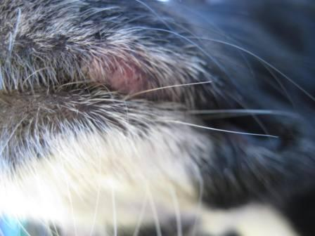 best dog blog, copyright champion of my heart, photo of chemo sores on dog's lips