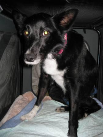 best dog blog, champion of my heart, border collie in crate