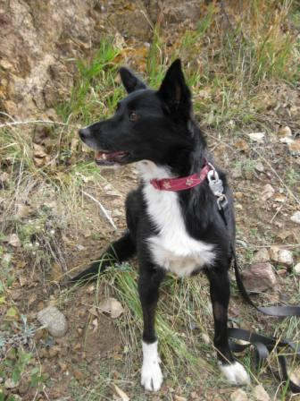best dog blog, champion of my heart, border collie hiking