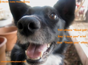 Border Collie's Thanksgiving Advice