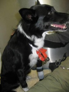 best dog blog champion of my heart border collie in veterinary hospital