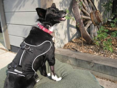 best dog blog champion of my heart border collie sitting in the sun