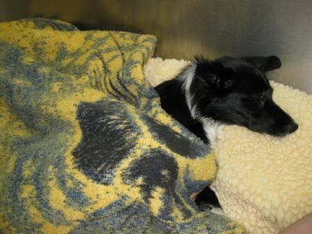 best dog blog champion of my heart border collie in veterinary hospital cage