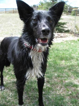 best dog blog champion of my heart border collie after a swim