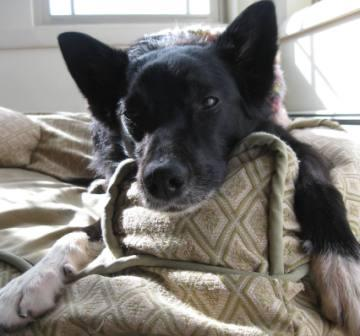 best dog blog, champion of my heart, border collie on dog sofa
