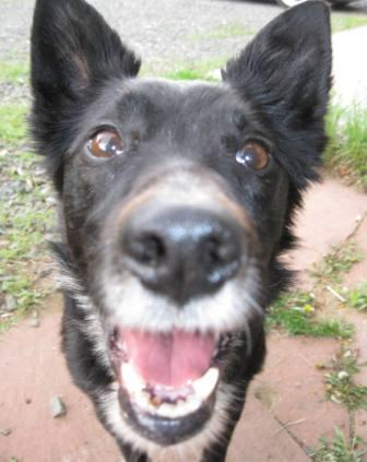 best dog blog, champion of my heart, border collie face close up