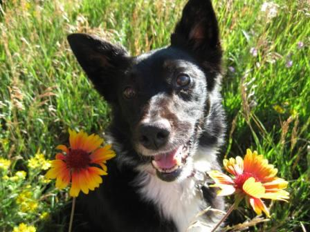 best dog blog, champion of my heart, border collie in wildflowers