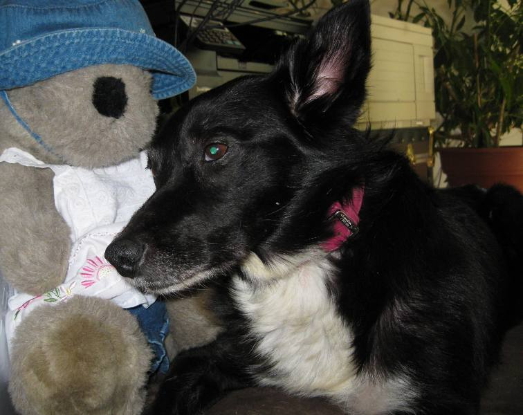 best dog blog, champion of my heart, border collie and her comfort bear
