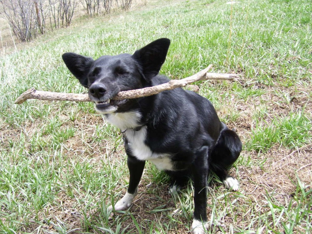 best dog blog champion of my heart border collie with a stick