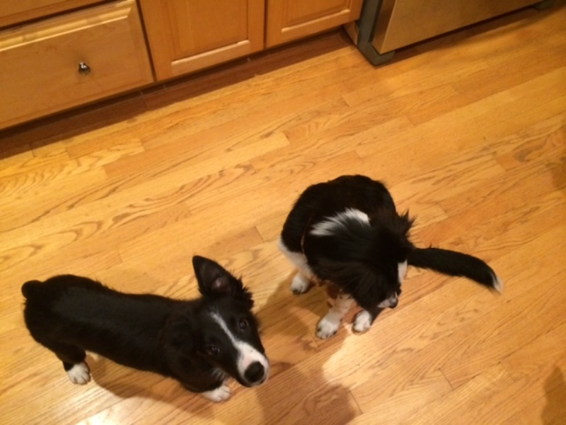 border collie puppy, dog blog, champion of my heart
