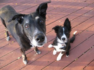 old dog and puppy, champion of my heart, dog blog