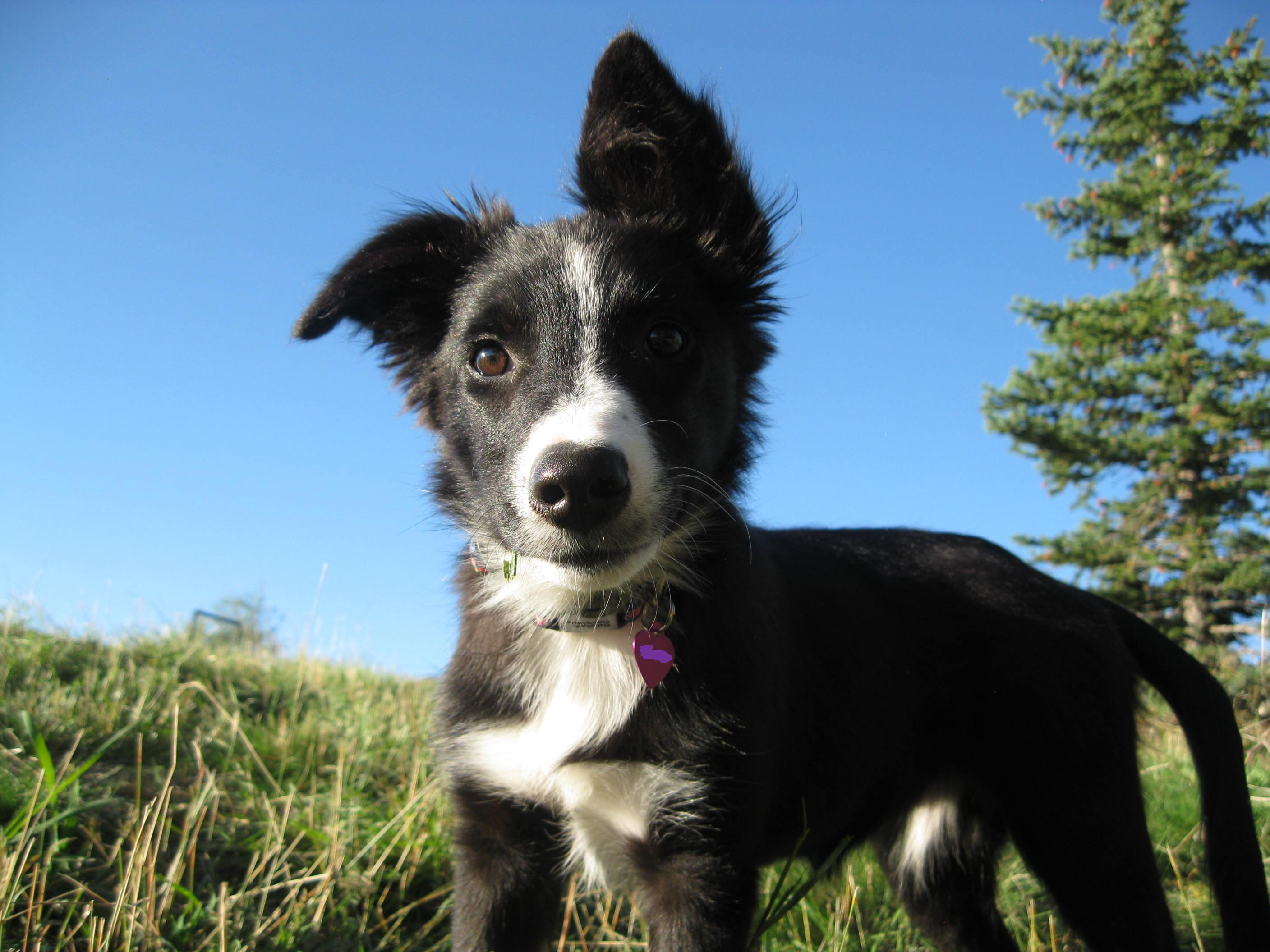 border collie puppy photo