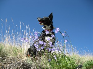 border collie with wildflowers, dog blog, champion of my heart, copyright Roxanne Hawn