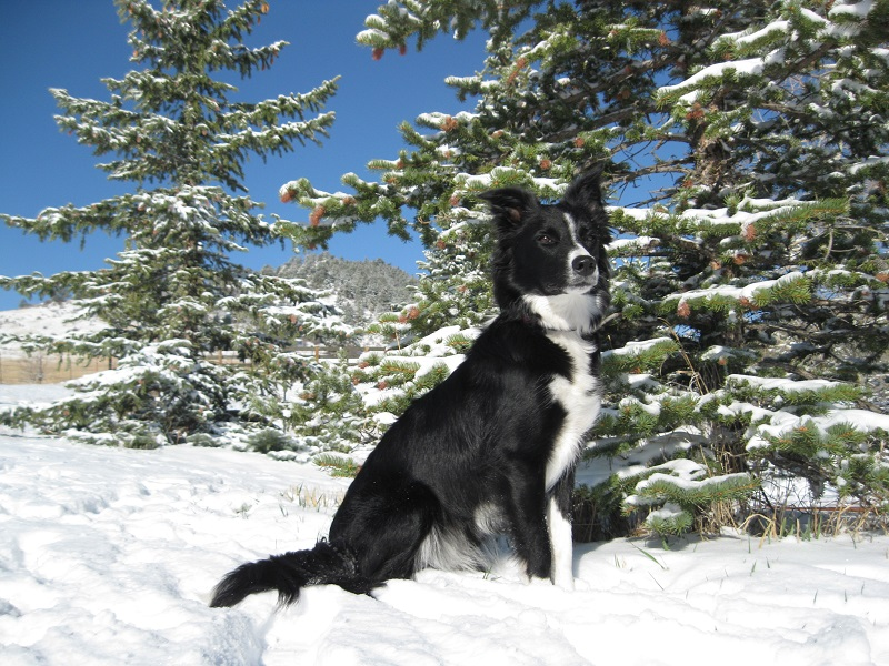 border collie in snow, champion of my heart, dog blog, copyright roxanne hawn