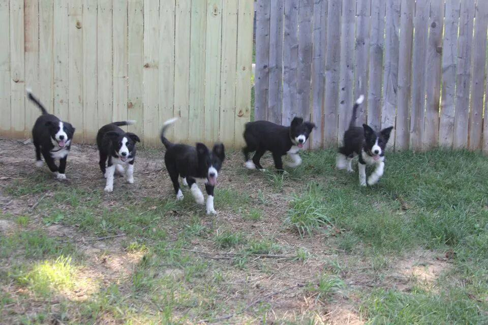 border collie puppies running, champion of my heart, dog blog