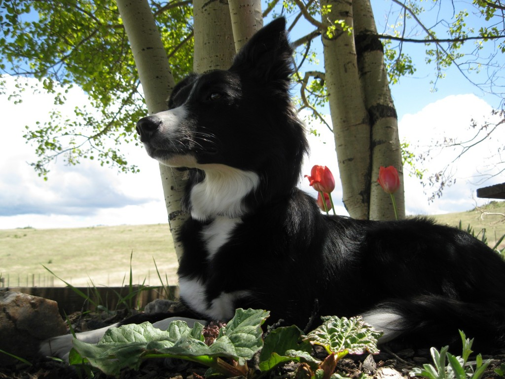 border collie photo, clover, dog blog champion of my heart