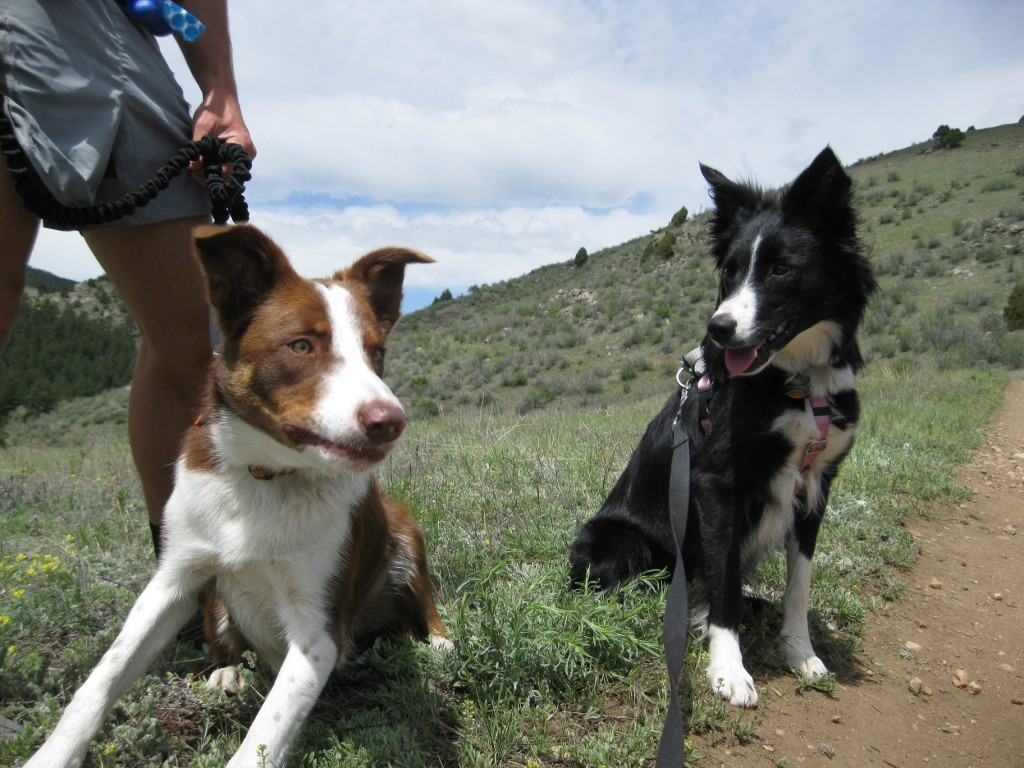 border collie puppies, colorado, leo and clover, hiking
