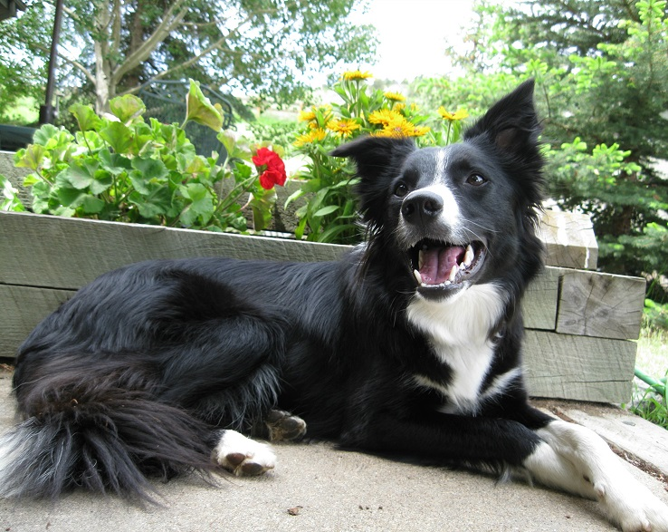 border collie smiling, best dog blog, champion of my heart, photo copyright roxanne hawn