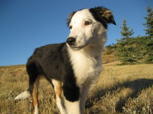 border collie, australian shepherd, puppy, dog blog champion of my heart