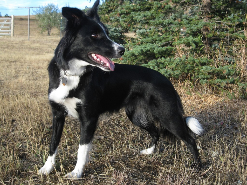 border collie, dog blog, champion of my heart, Clover