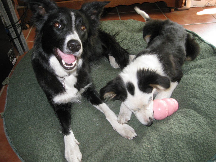 border collie puppies, champion of my heart