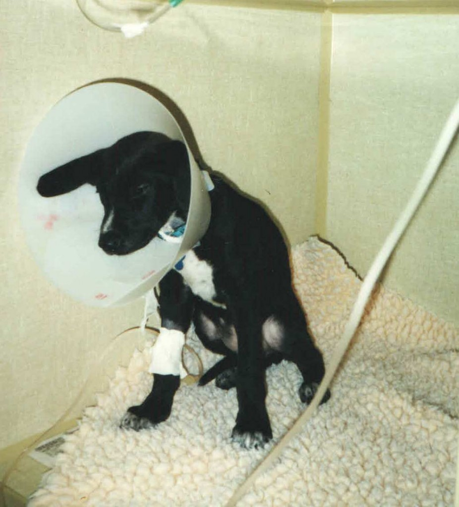 baby ginko in the icu with parvo 2000