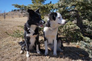 dog blog champion of my heart, 2 border collie puppies