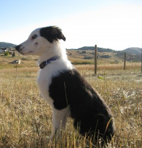 dog blog champion of my heart, border collie puppy photo